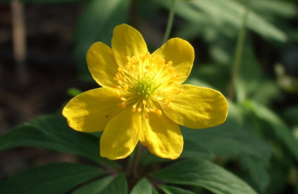 cvijet–zuto