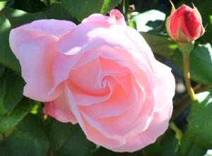 rose-ra.3894